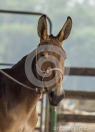 Free Mule Stock Image - 37095591