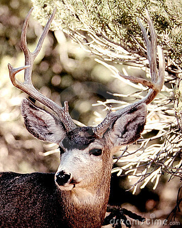 Free Mule Deer Royalty Free Stock Images - 4739