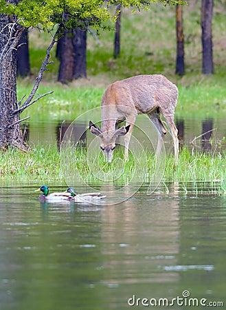Free Mule Deer And Mallards Royalty Free Stock Photo - 6129335