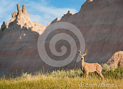 Mule Deer with Badlands Background