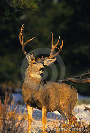 Free Mule Deer Buck Stock Photos - 16530623