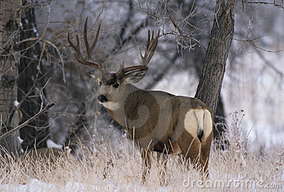 Mule Deer Buck on Frosty Morning