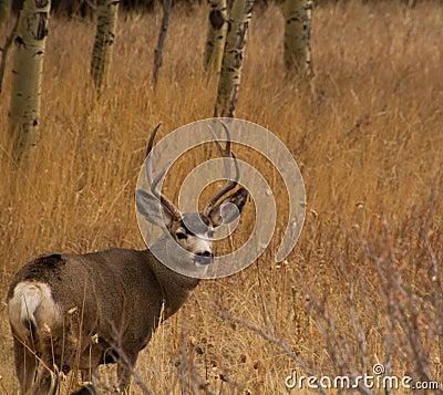 Mule Deer Buck with large antler rack