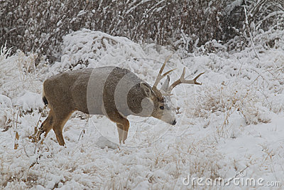 Mule Deer Buck in Snowstorm