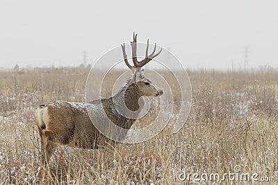 Mule Deer Buck in Snowy Field