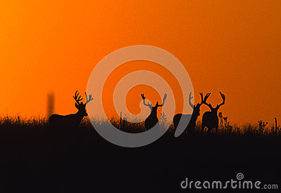 Mule Deer Bucks Silhoutted