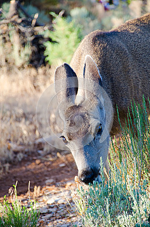 Mule deer eating grass in a meadow