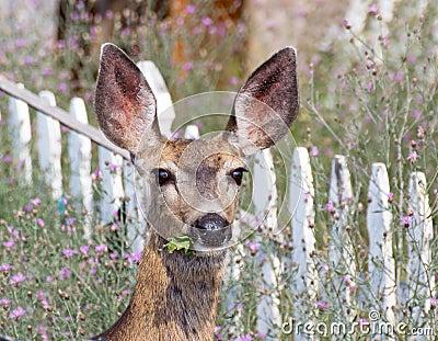 Mule Deer Eating Weeds