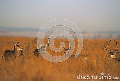 Mule Deer Herd During Rut