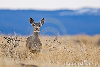 Mule deer (Odocoileus hemionus).