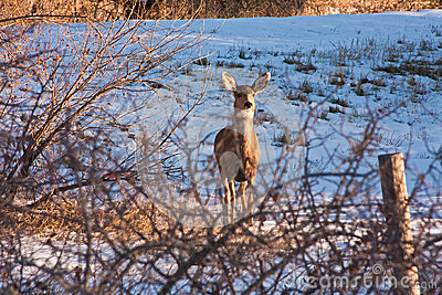 Mule Deer in Snowy Field