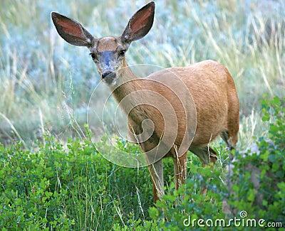 Mule Deer Spots Camera
