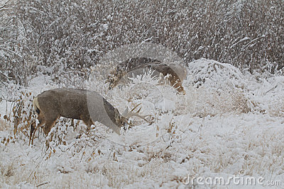 Mule Deer and Whitetail Bucks in Snow