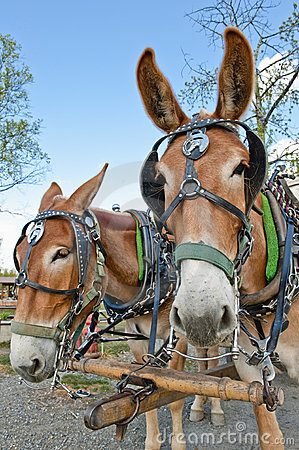Free Mule Horse Team Royalty Free Stock Photo - 12281335