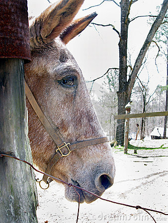 Mule Profile Stock Photo