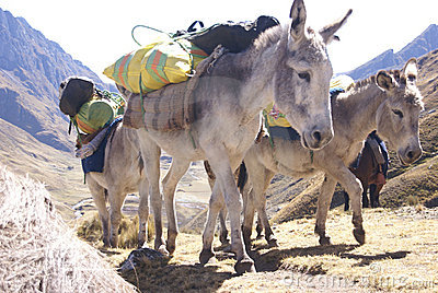 Mule Train, Carrying Loads Stock Images - Image: 13556594