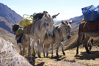 Mule Train, Carrying Loads Stock Images - Image: 13723004