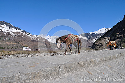 Mule Walk In Mountain.