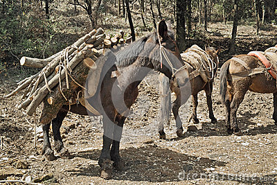 Mule at work