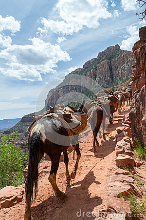 Free Mules In The Grand Canyon Royalty Free Stock Image - 79329546