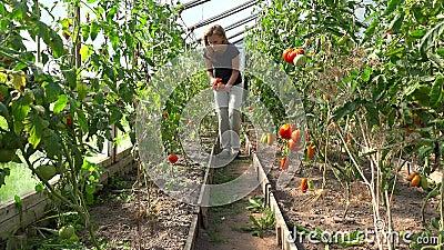 Mulher do fazendeiro que escolhe tomates orgânicos na estufa filme
