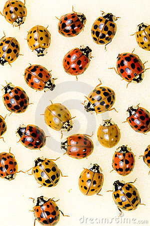 Free Multi-colored Asian Lady Beetles Royalty Free Stock Images - 21386429