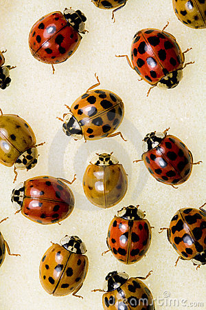 Free Multi-colored Asian Lady Beetles Royalty Free Stock Image - 21386436