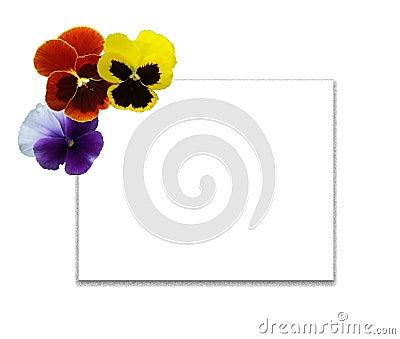 Multi-coloured pansies