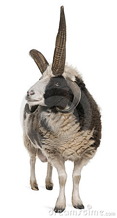 Multi-horned Jacob Ram, Ovis aries