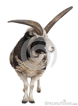 Multi-horned Jacob Ram, Ovis aries
