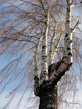 Multi-trunk birch in winter