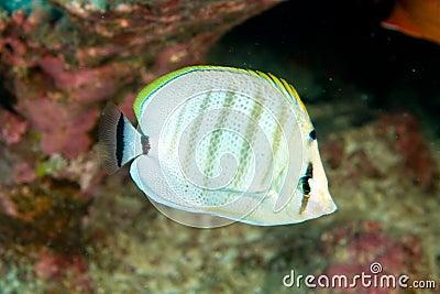 Multibar的butterflyfish