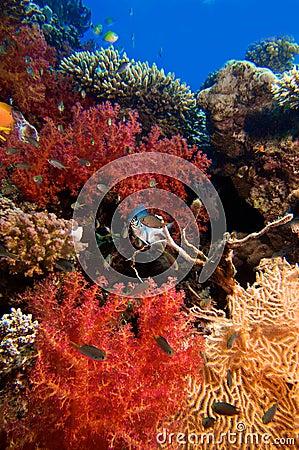 Multicolor corals with blue sea