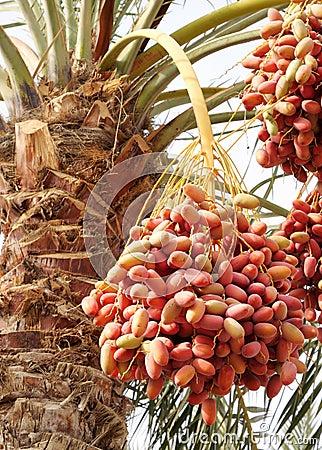 Multicolor kimri dates