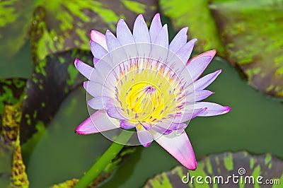 Multicolor lotus blossom