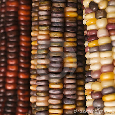 Free Multicolored Indian Corn. Stock Photography - 2042642