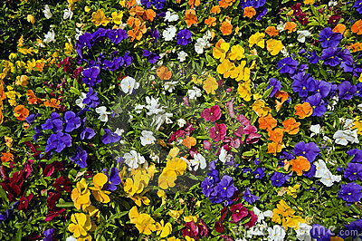 Multicolored pansies