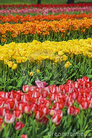 Multicolored Rows of Flowers