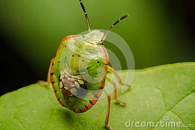 Multicolored Shield Bug