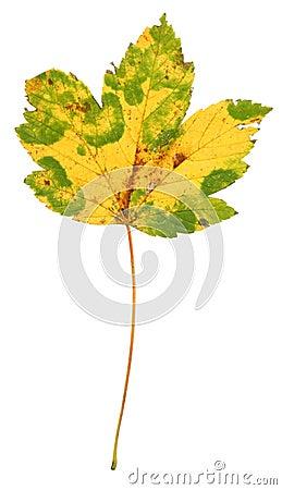 Multicoloured Maple Leaf