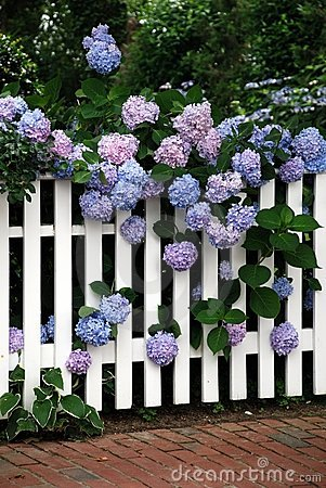 Free Multiple Hydrangea Blooms Royalty Free Stock Photography - 4835607