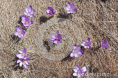 Multiple Spring Crocuses in a meadow