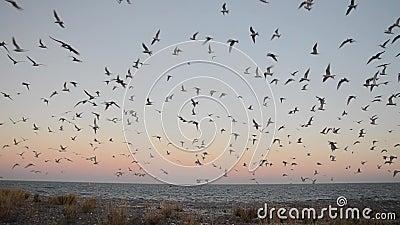 Multitud de la golondrina de mar antártica - vittata de los esternones almacen de metraje de vídeo