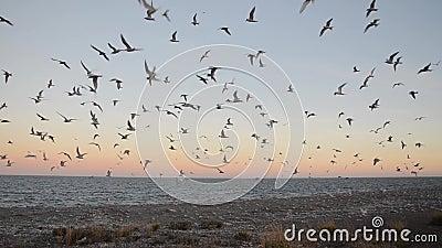 Multitud de la golondrina de mar antártica - vittata de los esternones - en la estación de la cría almacen de metraje de vídeo