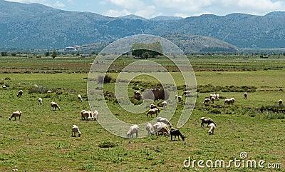 Multitud de ovejas en prado hermoso de la montaña