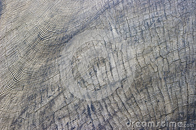 Multitude of Sequoia Tree Rings