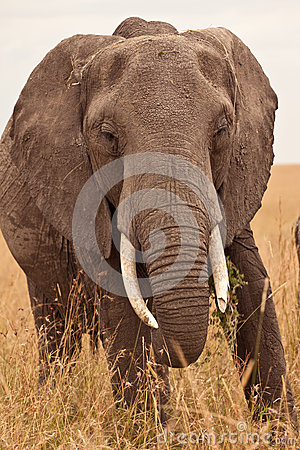 Mum Elephant in Kenya