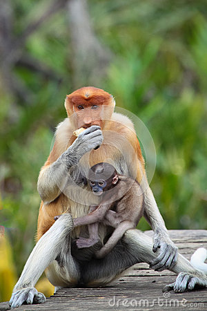 Mum and son Proboscis monkeys