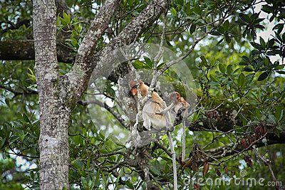 Mum and son Proboscis monkeys
