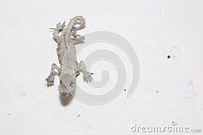 The mummy gecko